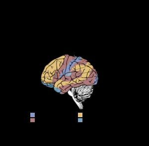 Obszary zmysłowe mózgu